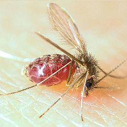 250px-lutzomyia_longipalpis-sandfly